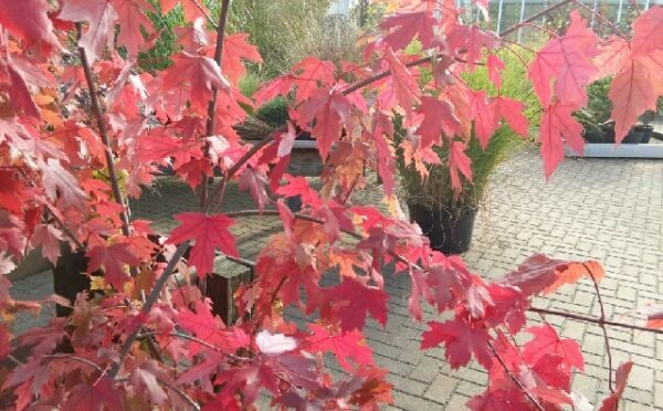 Es glüht der Herbst