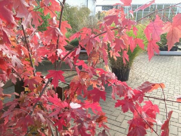 Es glüht der Herbst | Schob Baumschule